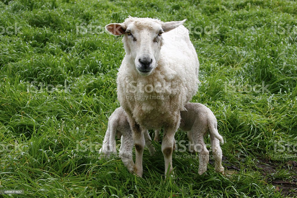 Sheep with Her Young royalty-free stock photo