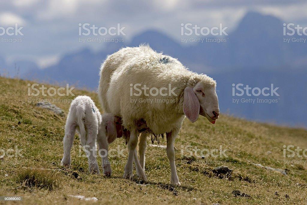 Sheep with lamb stock photo