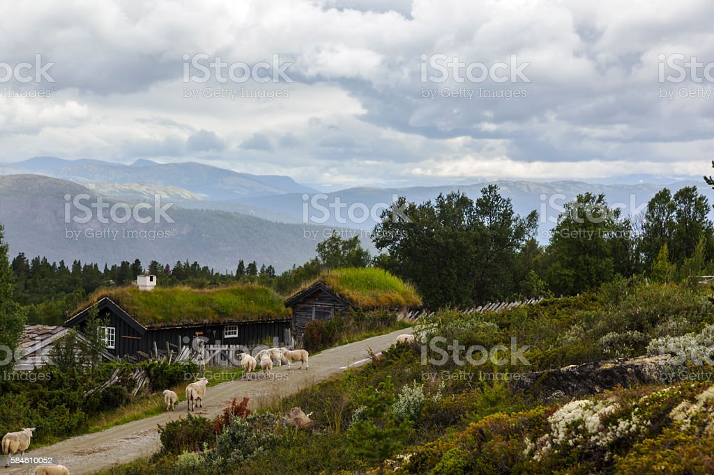 Sheep with lambs  on summer farm in the Norwegian mountains stock photo