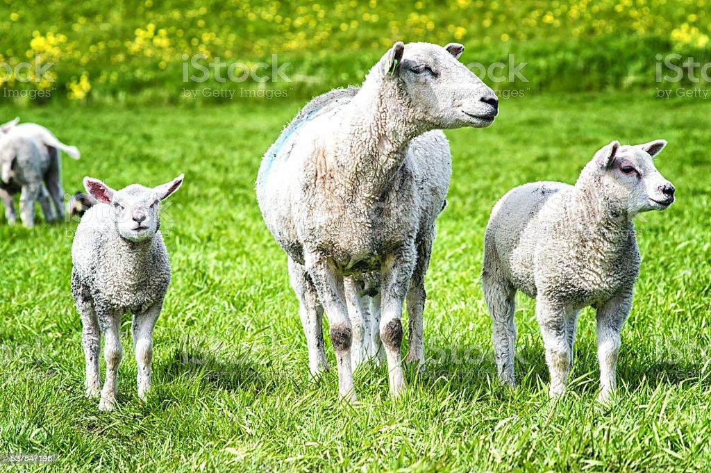 sheep with lambs stock photo