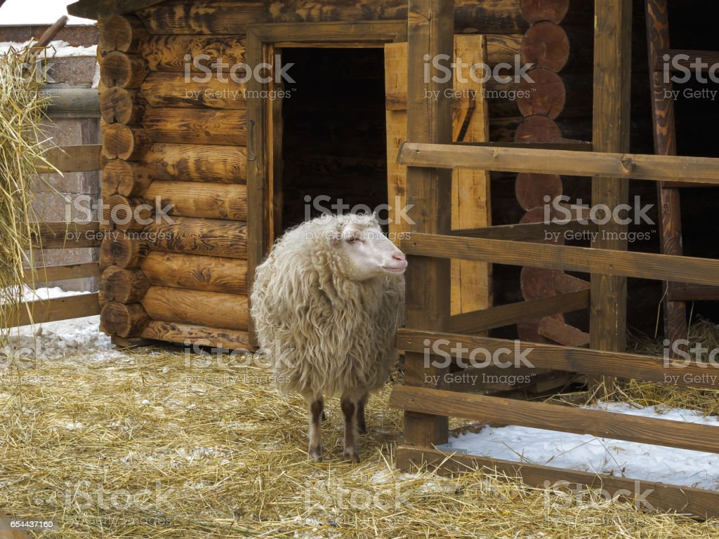 Sheep with long hair in winter in a pen. stock photo