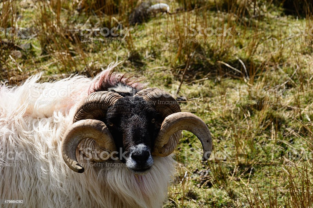 Sheep with long horn, Ireland stock photo