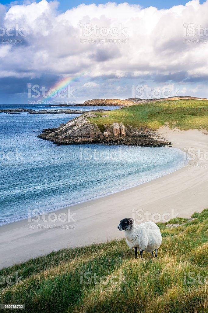 Sheep with rainbow on the beach stock photo