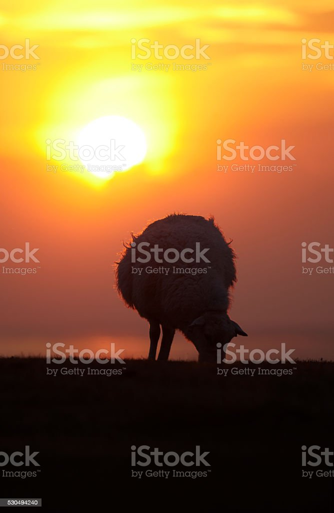 Sheep with sunset stock photo