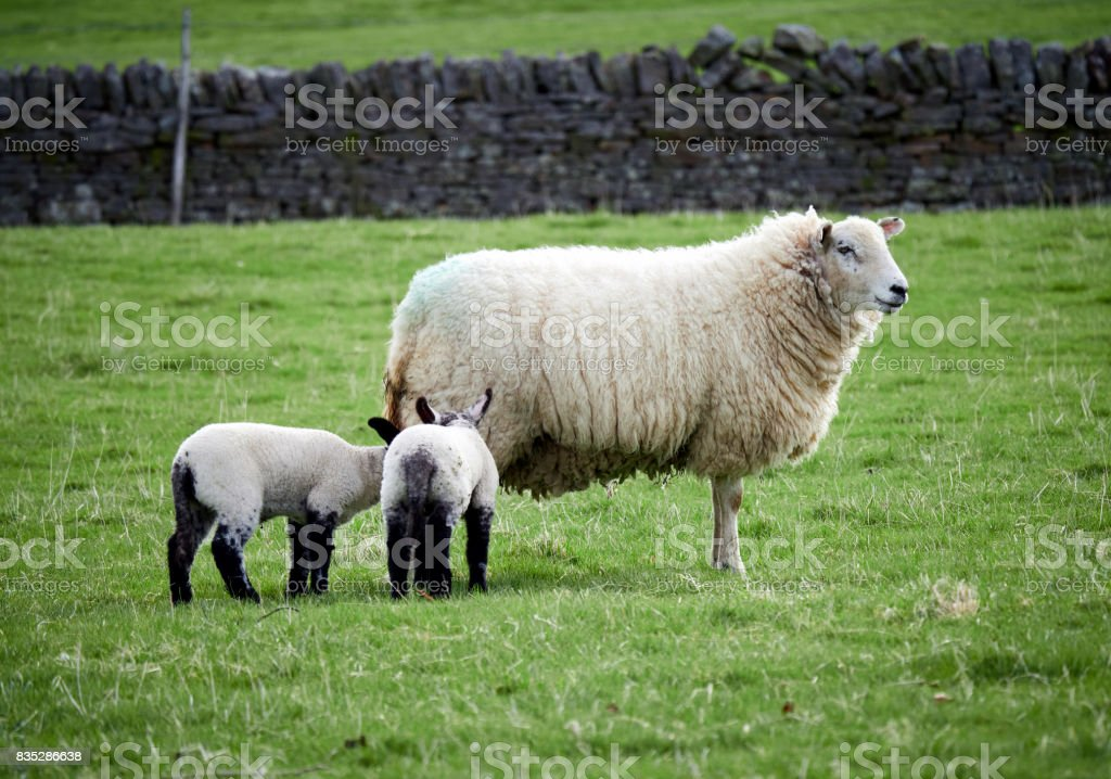 Sheep with their young lambs in a green field in springtime in the English countryside. Livestock, hill farming. stock photo