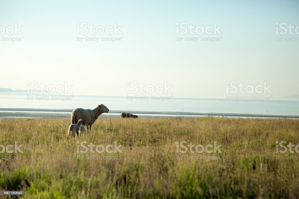Sheep with two lambs in field above lake stock photo
