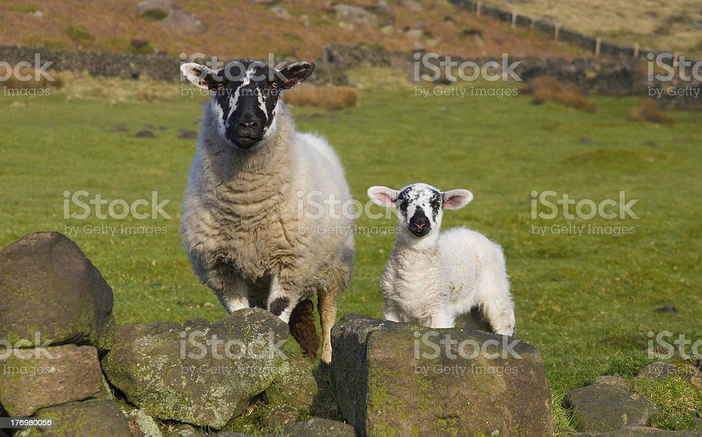 Sheep with Young Lamb stock photo