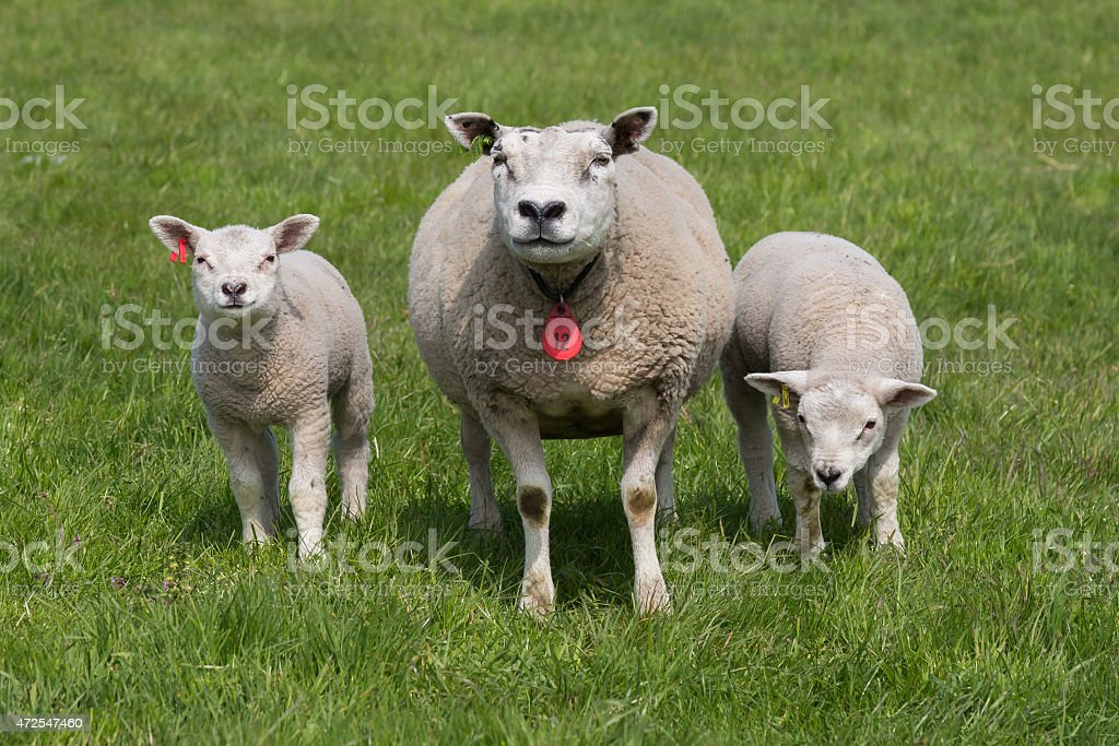 Sheep with young lambs stock photo