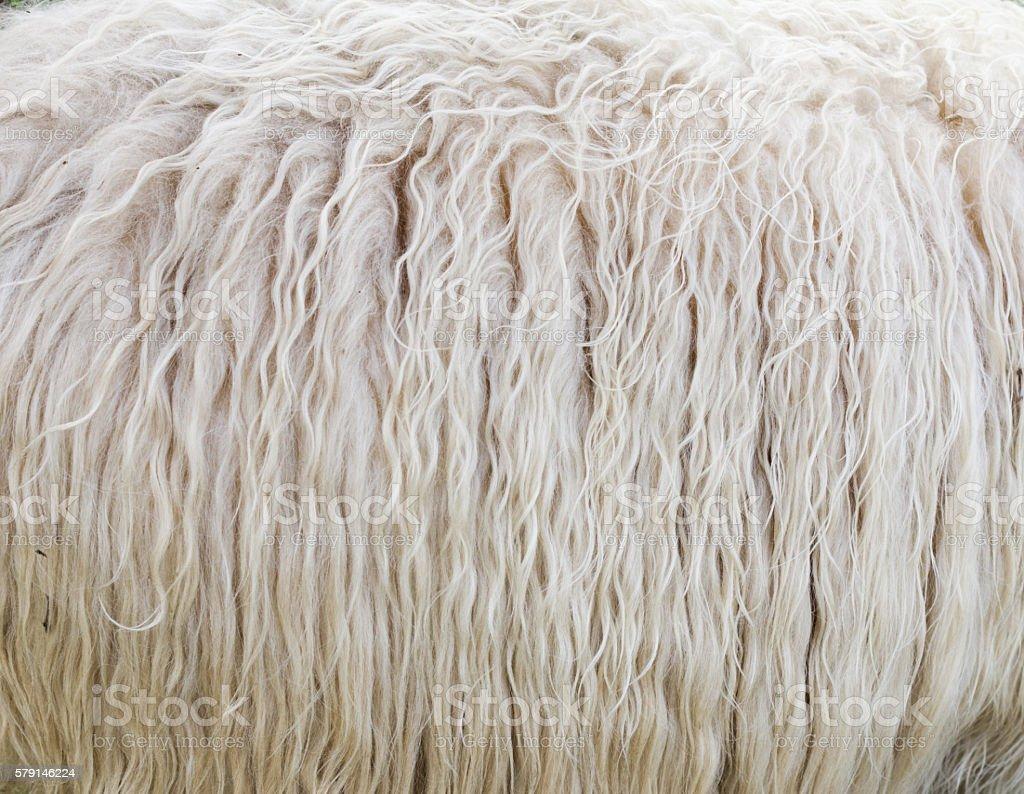 Sheep Wool stock photo