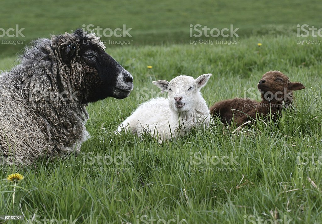 sheep02 royalty-free stock photo
