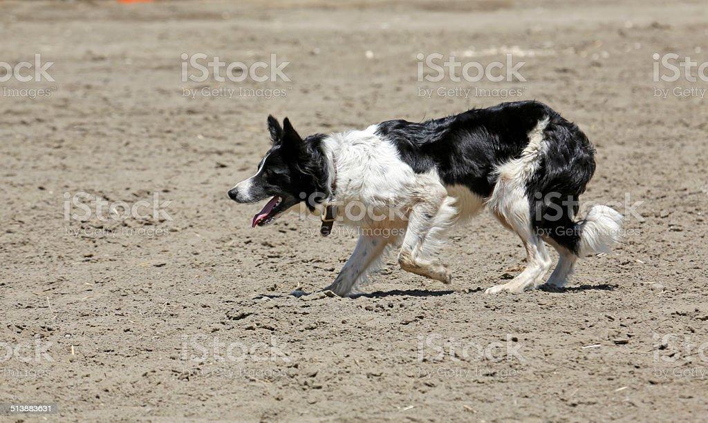 Sheepdog Black royalty-free stock photo
