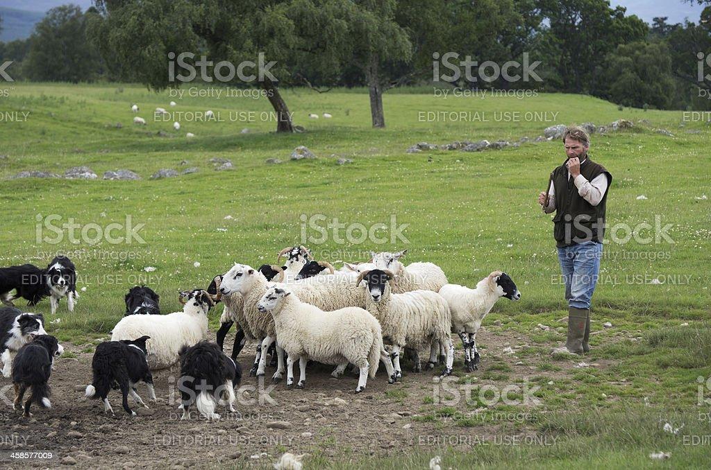 Sheepdog demonstration stock photo