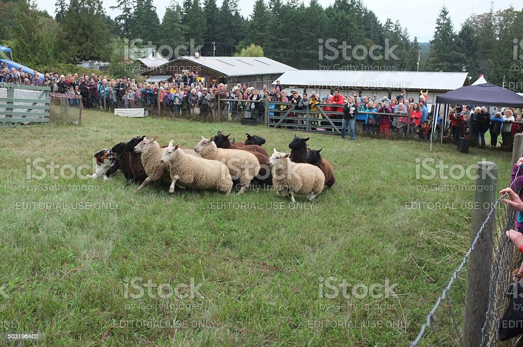 Sheepdog demonstration stock photo