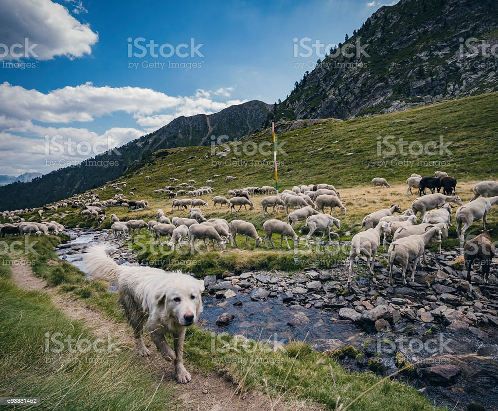 Sheepdog herding sheep in the Pyrenees stock photo