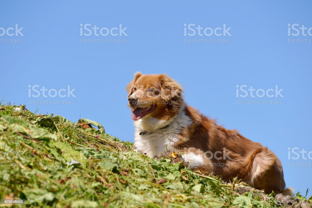 Sheepdog in french Alps stock photo