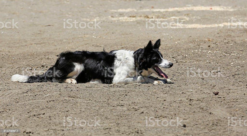 Sheepdog Lay royalty-free stock photo