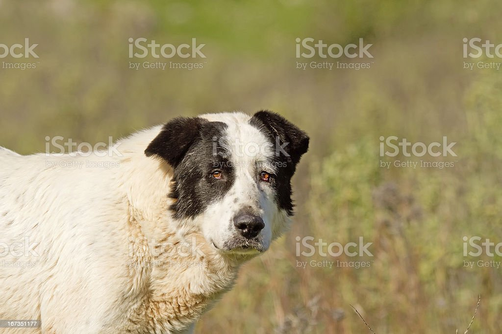Sheepdog Looking royalty-free stock photo