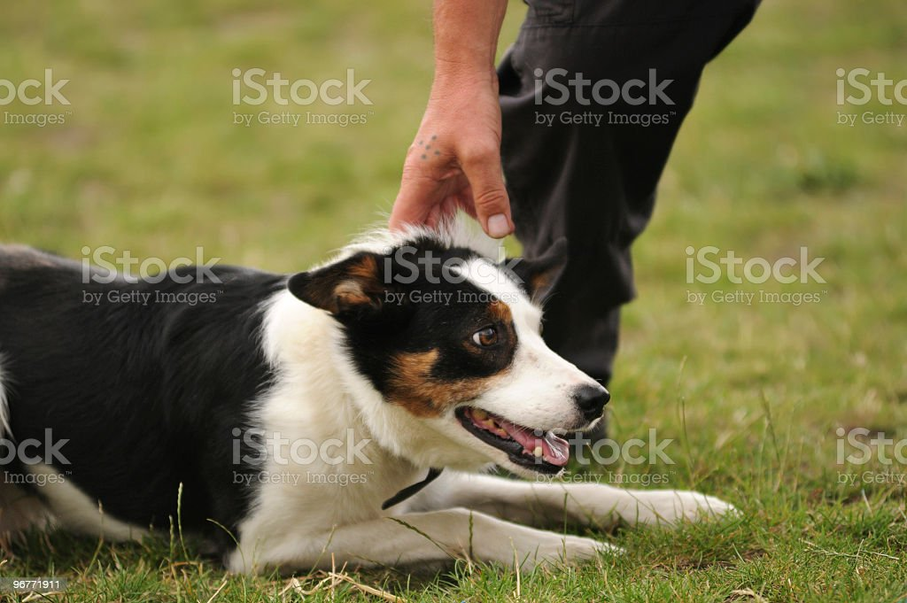 Sheepdog Obedience royalty-free stock photo