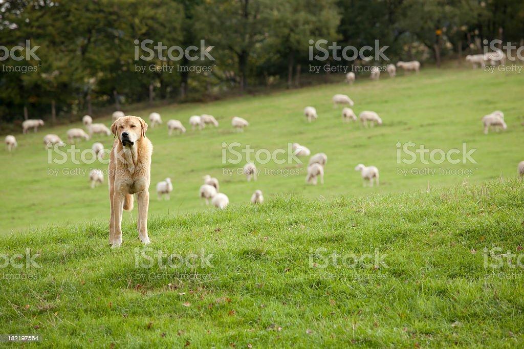 sheepdog royalty-free stock photo