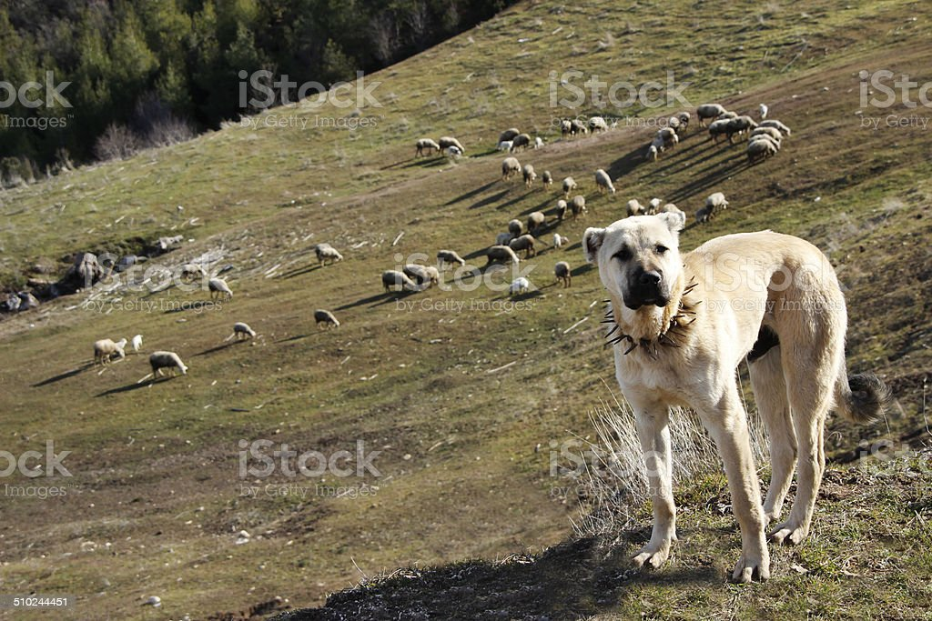 sheepdog stock photo