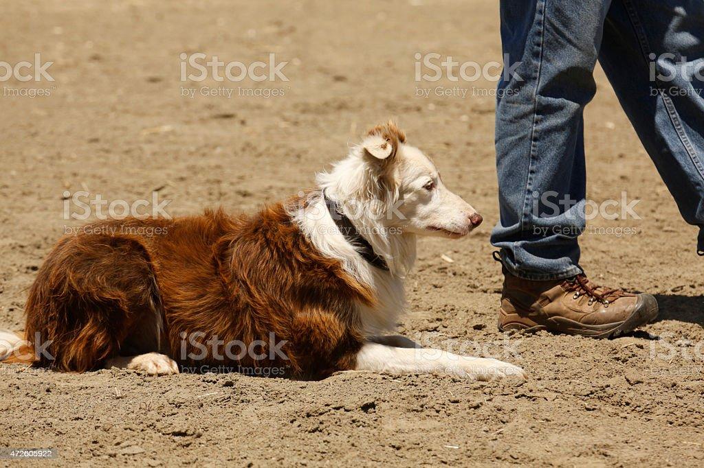 Sheepdog Wait royalty-free stock photo