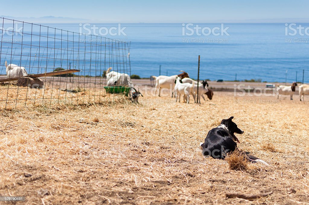 Sheepdog watches goats on a farm near the ocean stock photo
