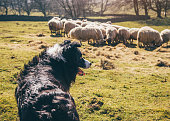 Sheepdog Watching Over Sheep in a Field