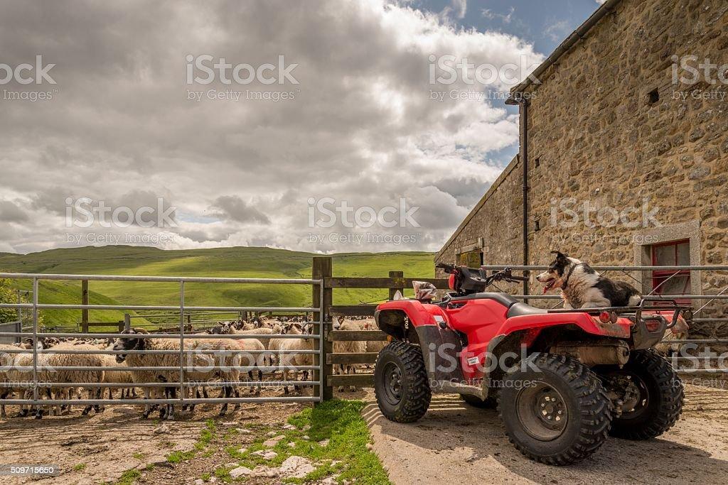 Sheepdog watching sheep on quad bike stock photo