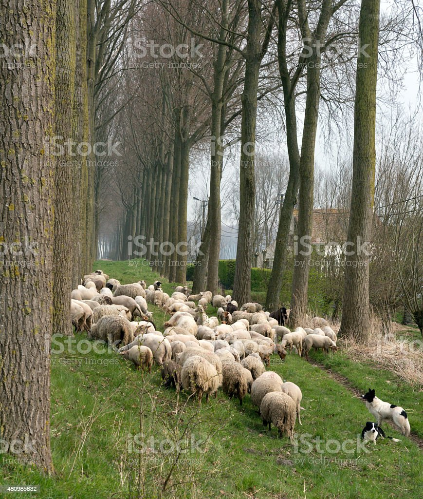 Sheepdogs and flock in Belgium stock photo