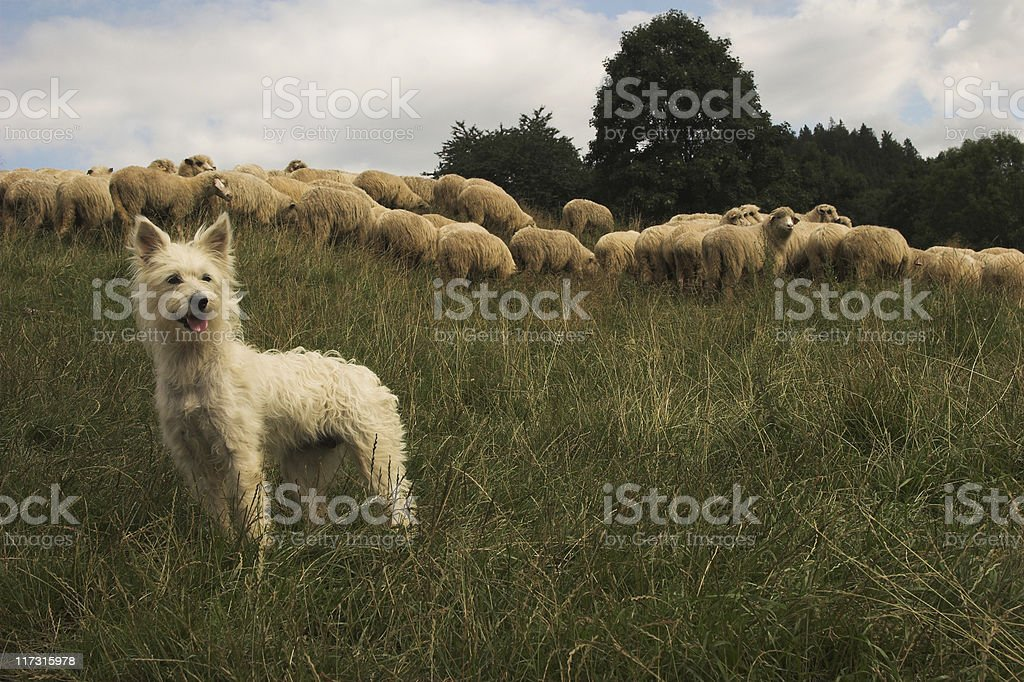 Sheeper dog stock photo