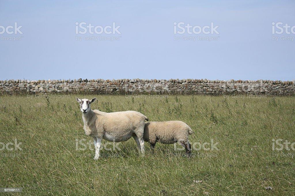 Sheepish 2 stock photo
