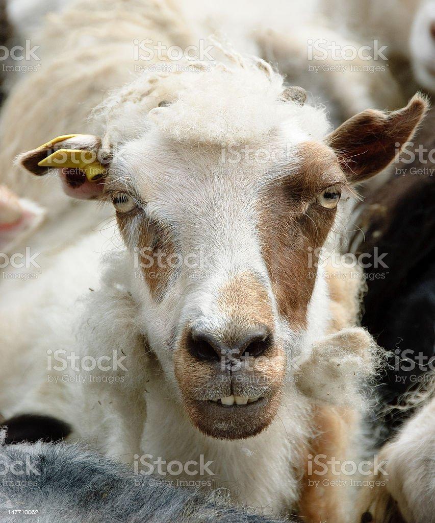 Sheepish sheep stock photo