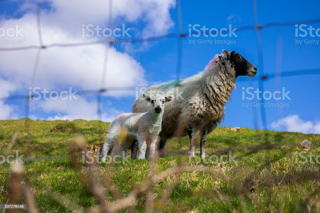 Sheeps and ewe stock photo