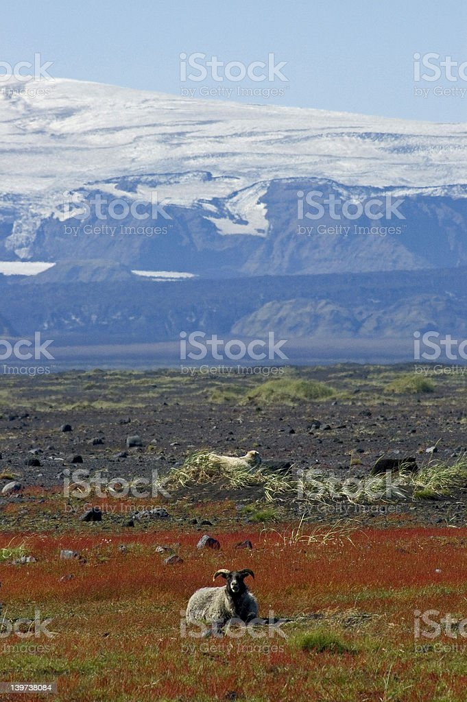 Sheeps and glacier stock photo