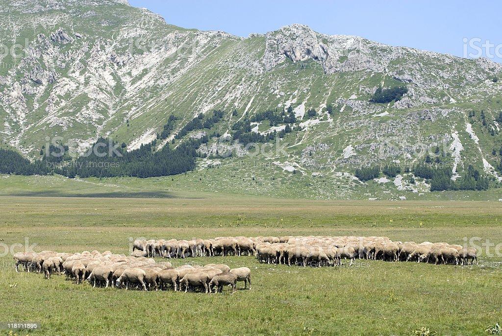 Sheeps at Campo Imperatore (L'Aquila, Abruzzi, Italy) royalty-free stock photo