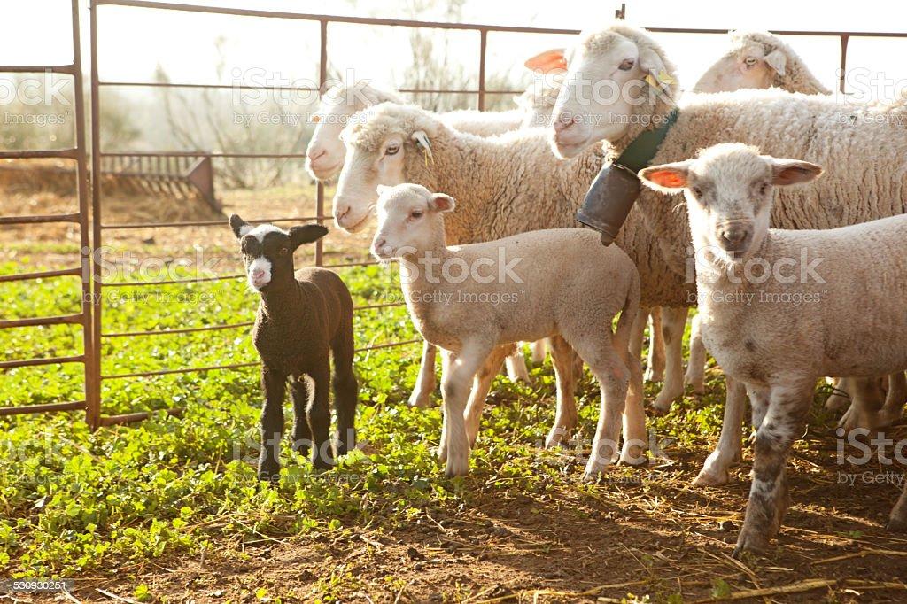 Sheeps at sunset stock photo