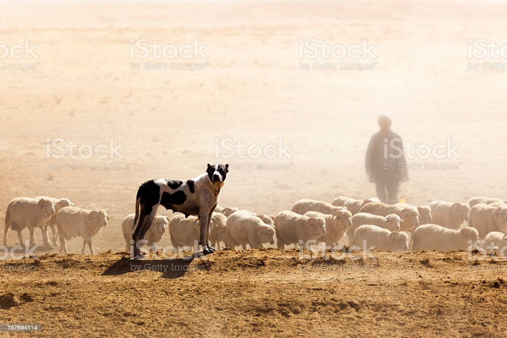 Sheeps, Dog and Shepherd stock photo