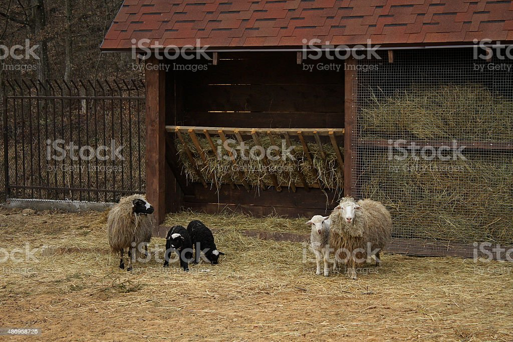 Sheeps family with little lambs at the farm stock photo