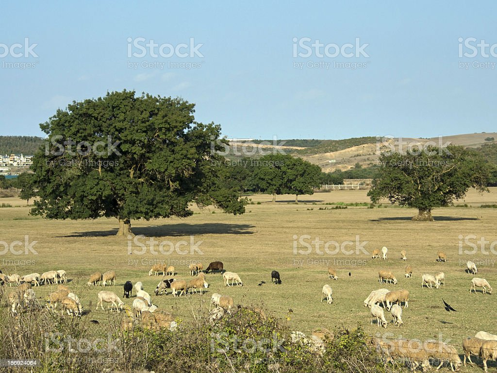 Sheeps Feasting at the Meadow stock photo