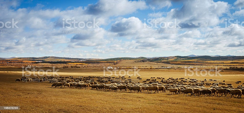 Sheeps feasting stock photo