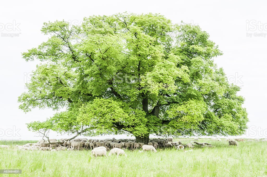 sheeps grazing and resting under linden (Tilia). Livestock, Sout stock photo