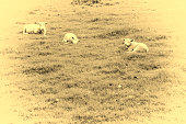 Sheeps Grazing on Green Pasture