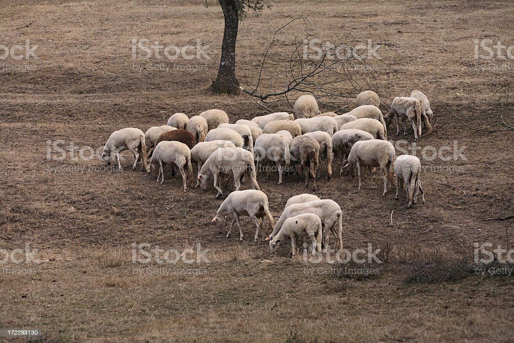 Sheeps Grazing royalty-free stock photo