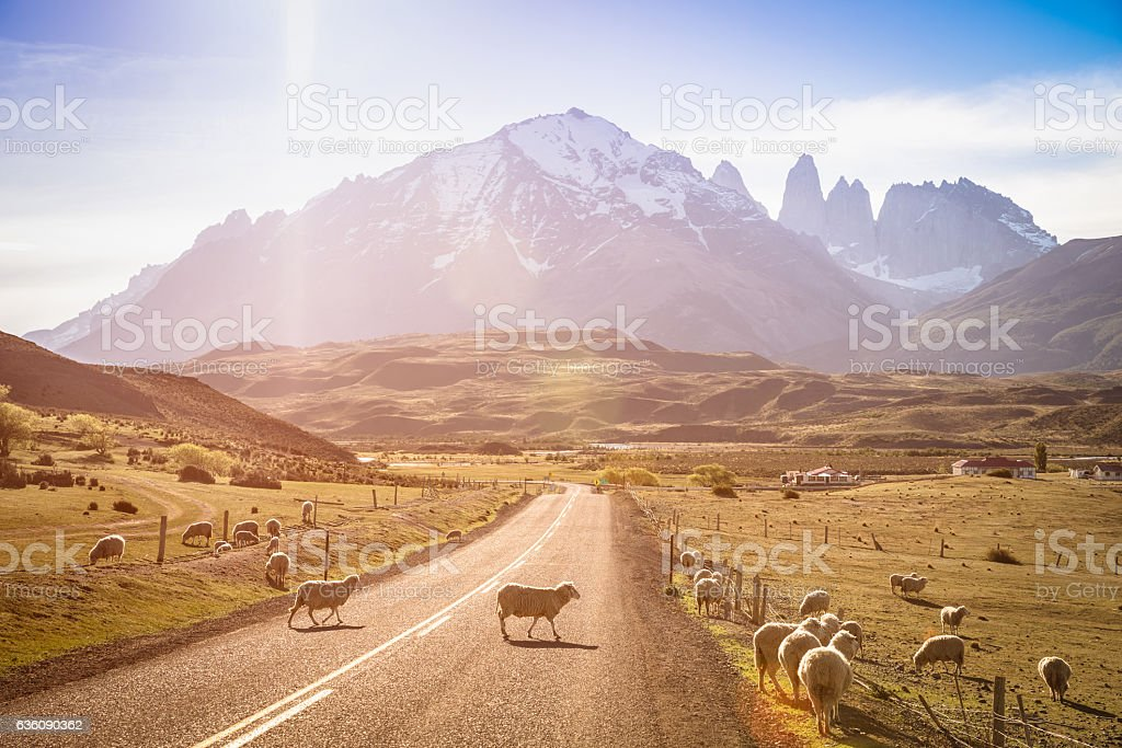 Sheeps herd grazing at sheepfarm by Torres del Paine Patagonia stock photo