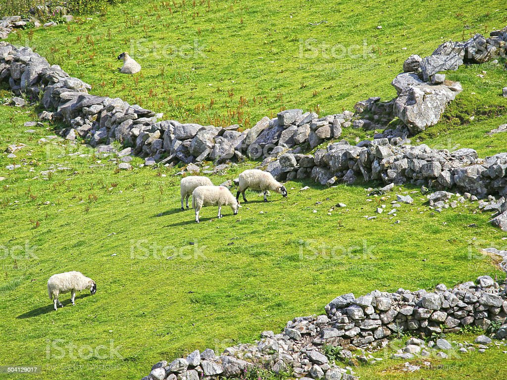 Sheeps in front of old stone walls stock photo