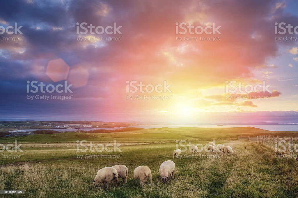 sheeps in Ireland at sunset stock photo