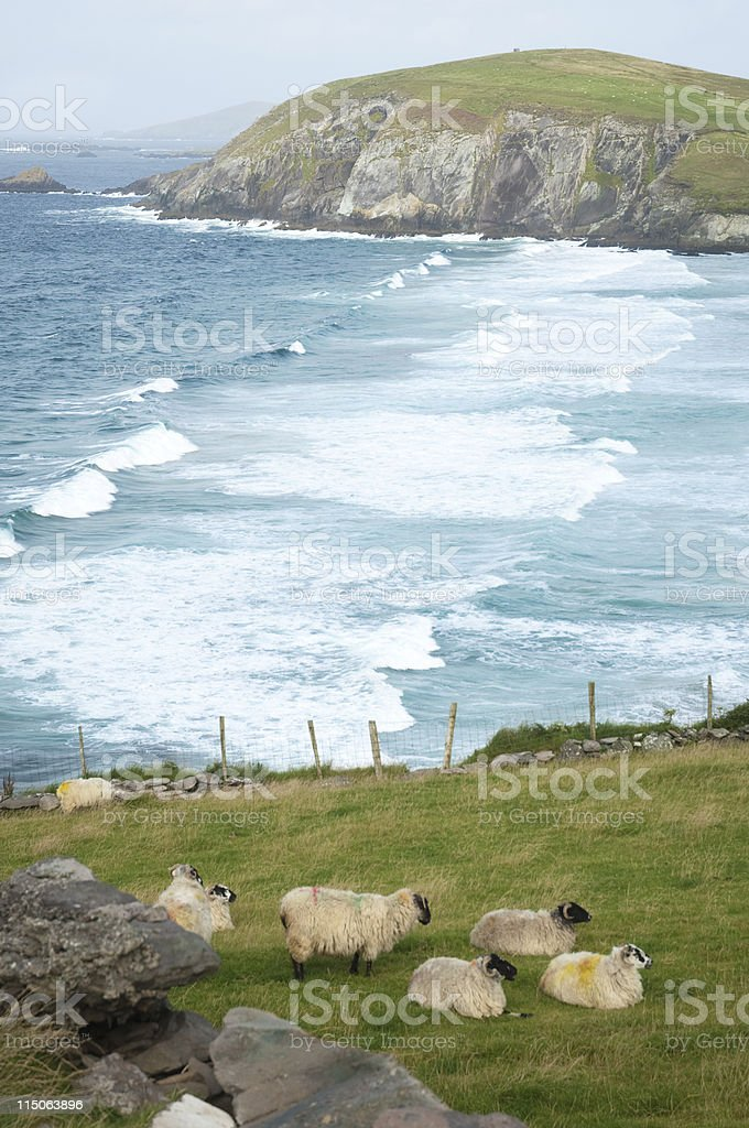 Sheeps in Ireland stock photo