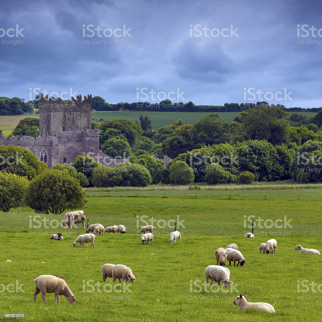 sheeps in Ireland stock photo