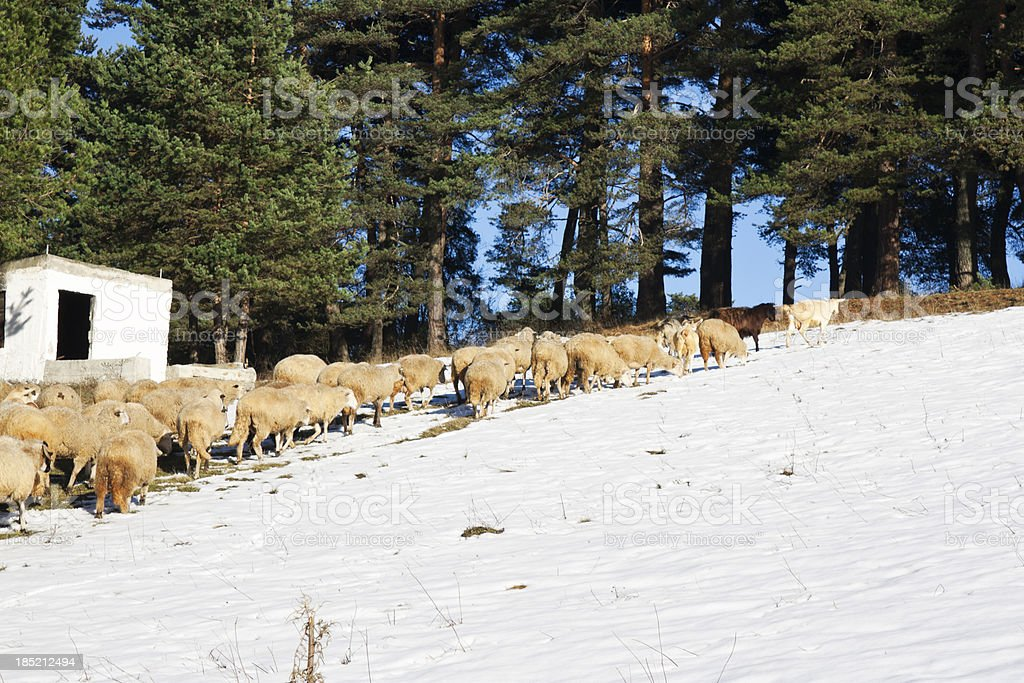 Sheeps in the snow royalty-free stock photo