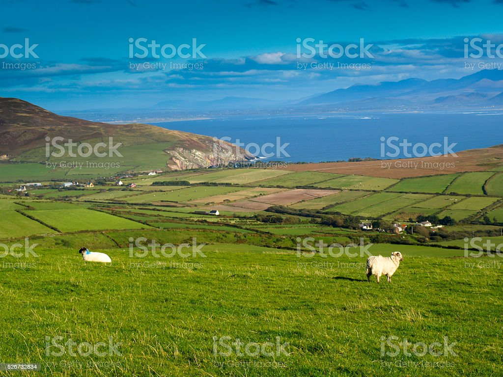 Sheeps on a green meadow royalty-free stock photo